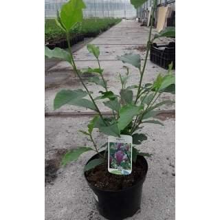 Magnolia C4
