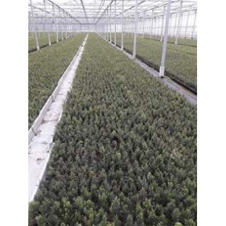 Taxus baccata p9